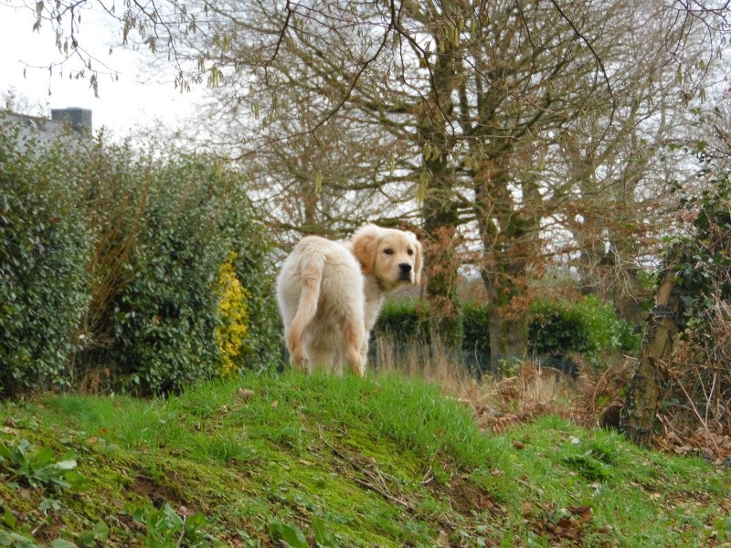 Les aventures d'Icare, Golden retriever  2014-015