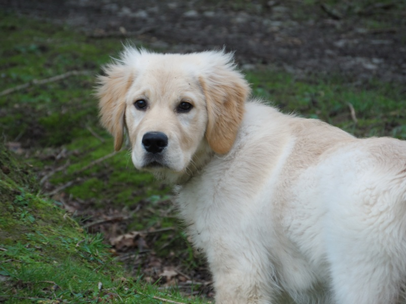 Les aventures d'Icare, Golden retriever  2014-016