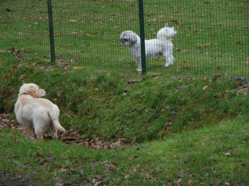 Les aventures d'Icare, Golden retriever  2014-017