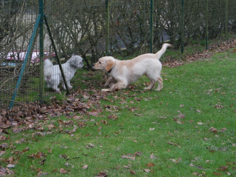 Les aventures d'Icare, Golden retriever  2014-019