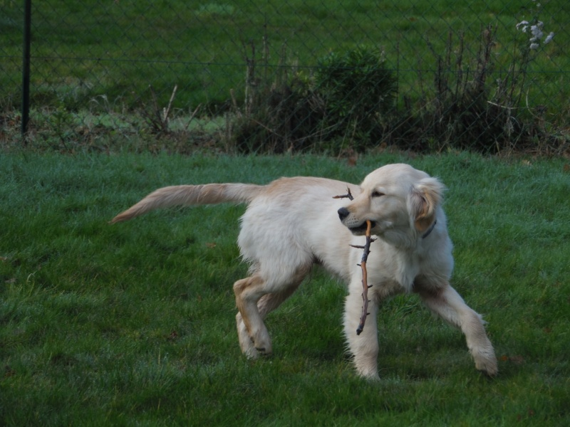 Les aventures d'Icare, Golden retriever  - Page 3 2014-040