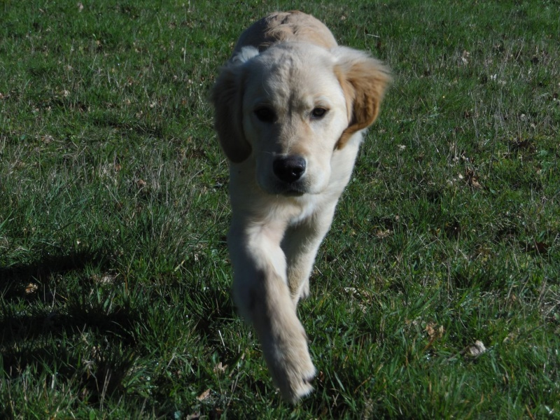 Les aventures d'Icare, Golden retriever  - Page 3 2014-049