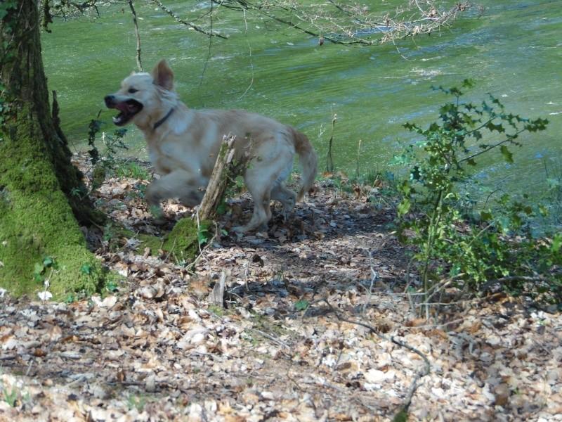 Les aventures d'Icare, Golden retriever  - Page 5 2014-082