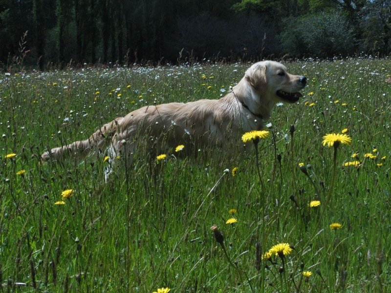Les aventures d'Icare, Golden retriever  - Page 5 2014-088