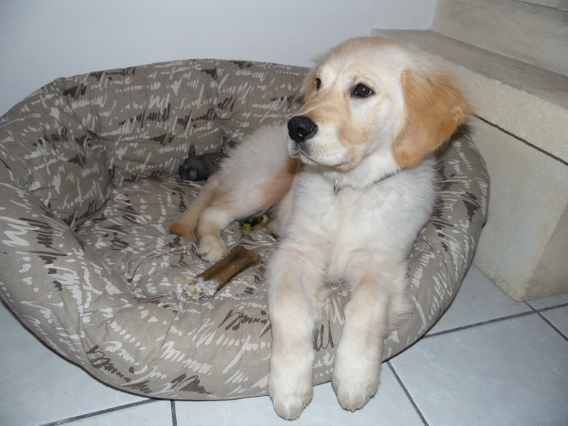 Les aventures d'Icare, Golden retriever  Sam_0710