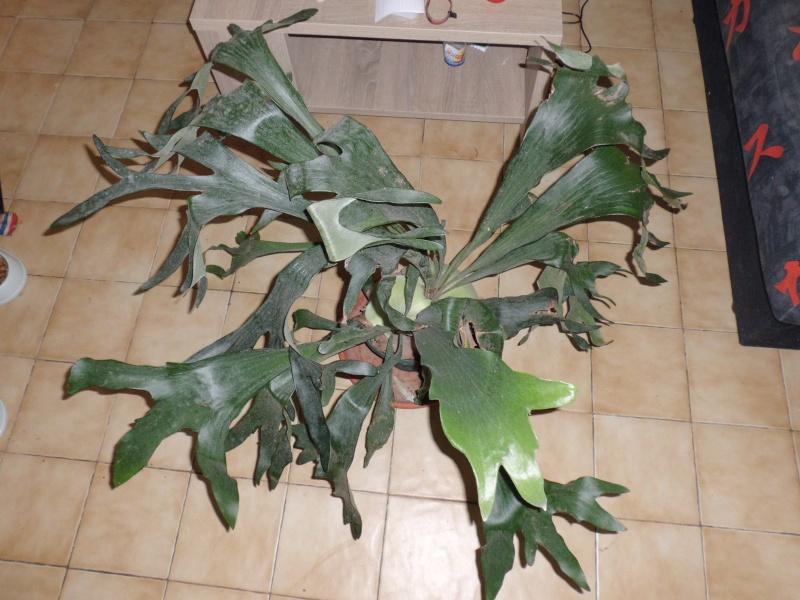 platycerium birfucatum Cimg0916
