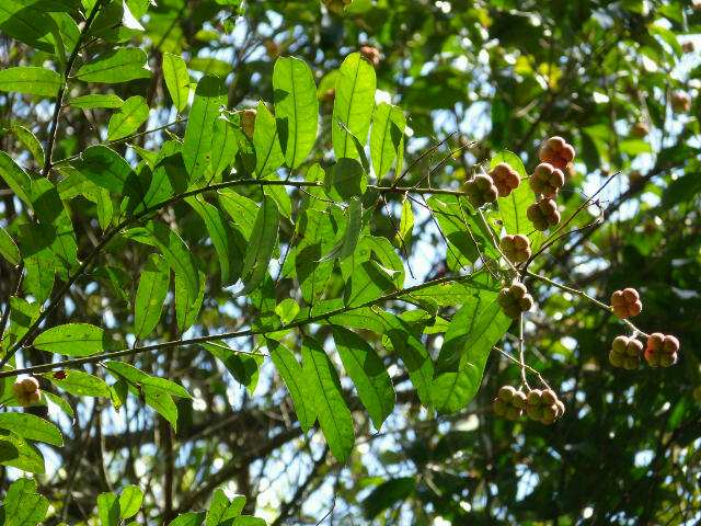 Demande d'aide pour l'identification d'un arbre 2013_114