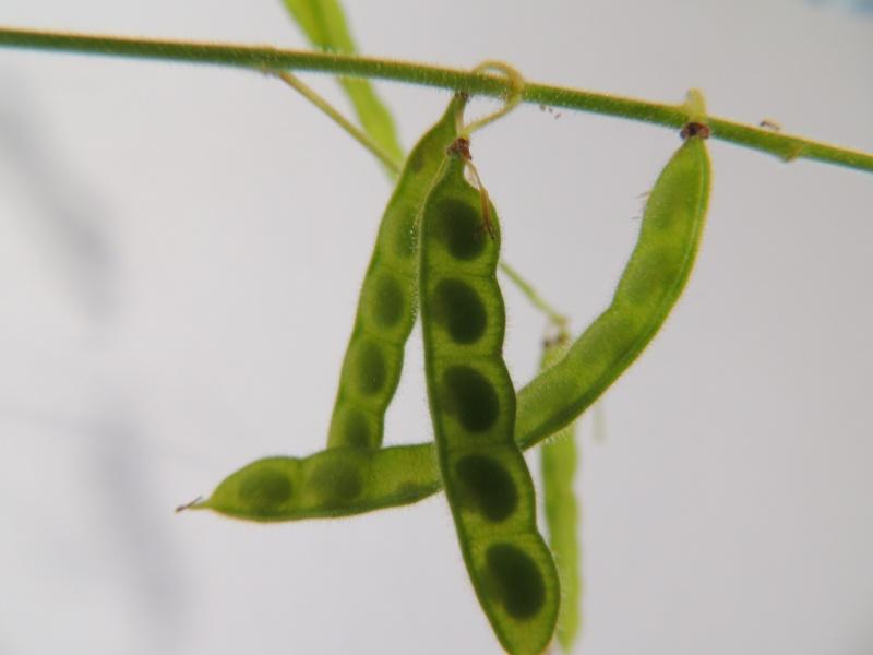 Fierté du jour : semis de Codariocalyx motorius (Desmodium gyrans) Dscn1012