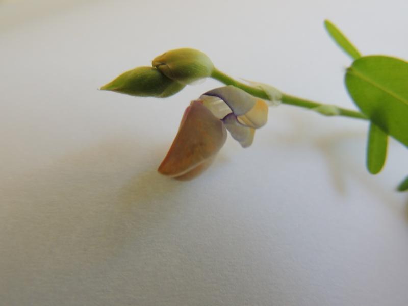 Fierté du jour : semis de Codariocalyx motorius (Desmodium gyrans) Dscn1118