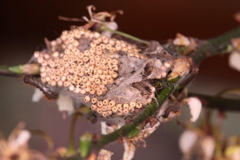 Une idée? [Meliteae cinxia, Orgyia sp., Noctuidae] Identi10