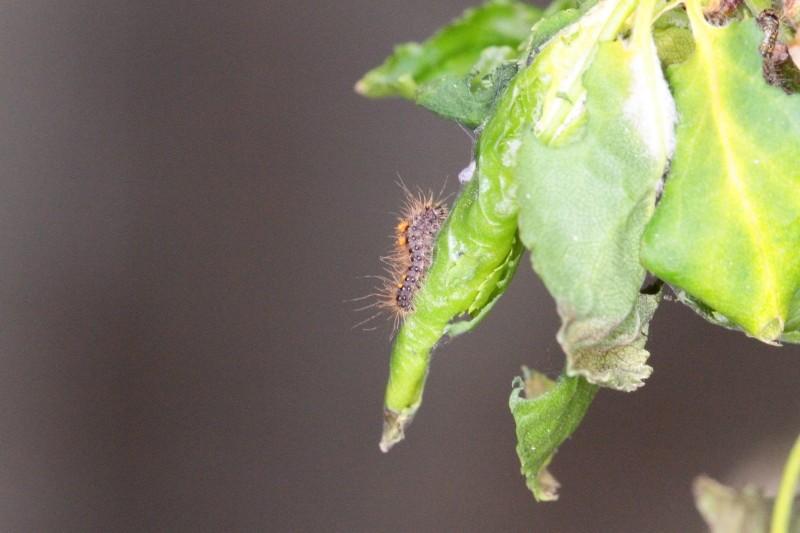 Une idée? [Meliteae cinxia, Orgyia sp., Noctuidae] Identi12