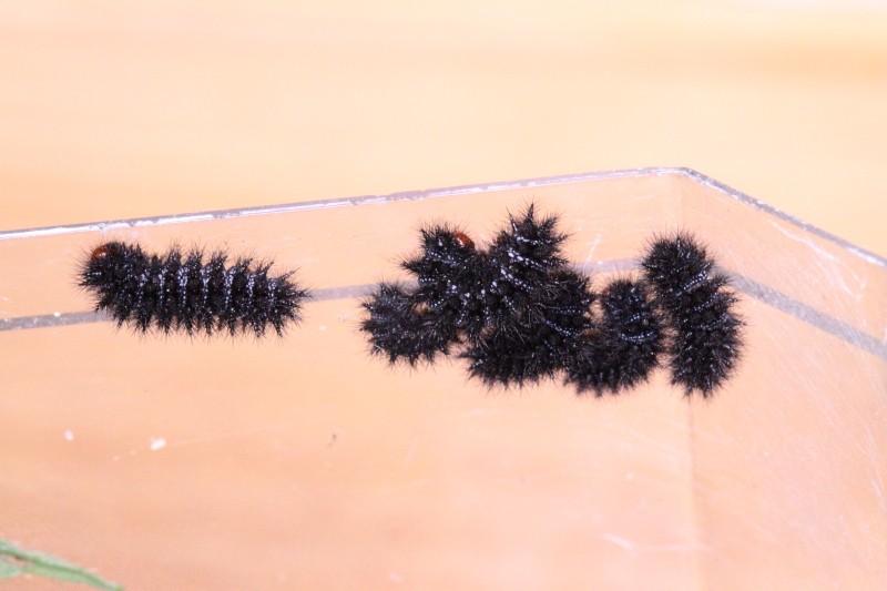 Une idée? [Meliteae cinxia, Orgyia sp., Noctuidae] Identi13
