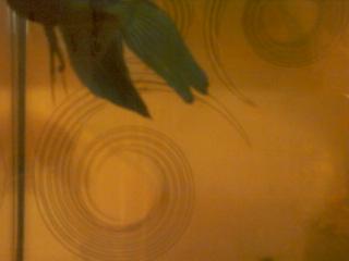 Nageoire caudale déchirée Photo-34