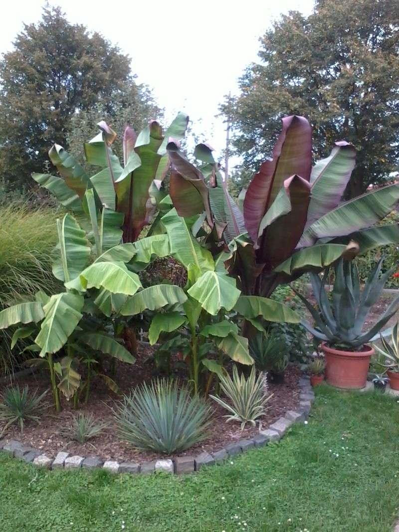Bananengewächse (Musaceae) - Seite 3 Foto0316