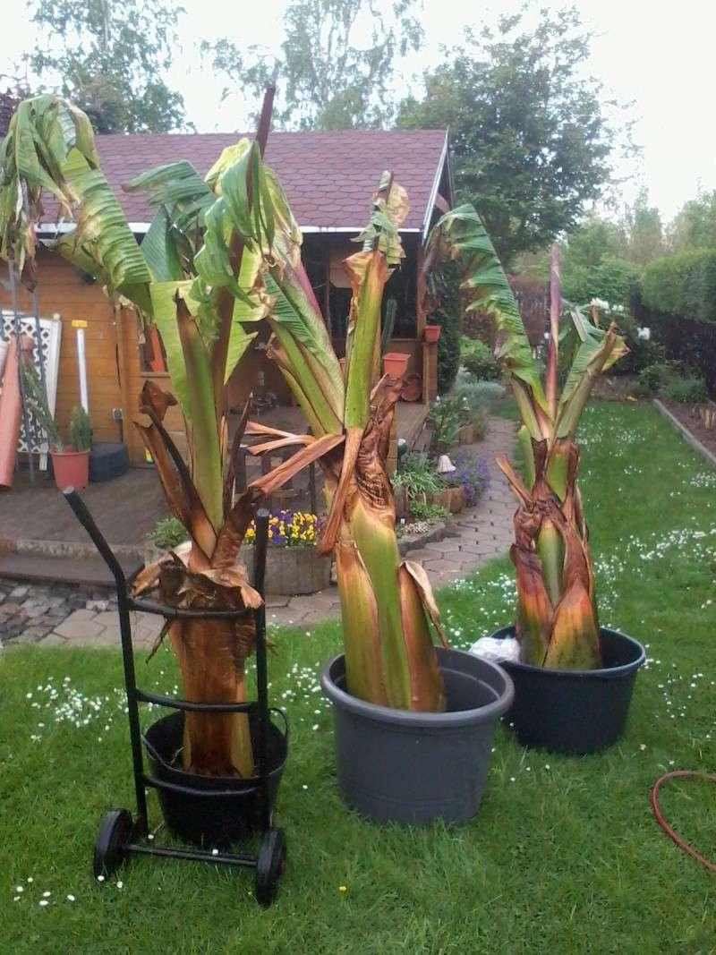 Bananengewächse (Musaceae) - Seite 3 Foto0617