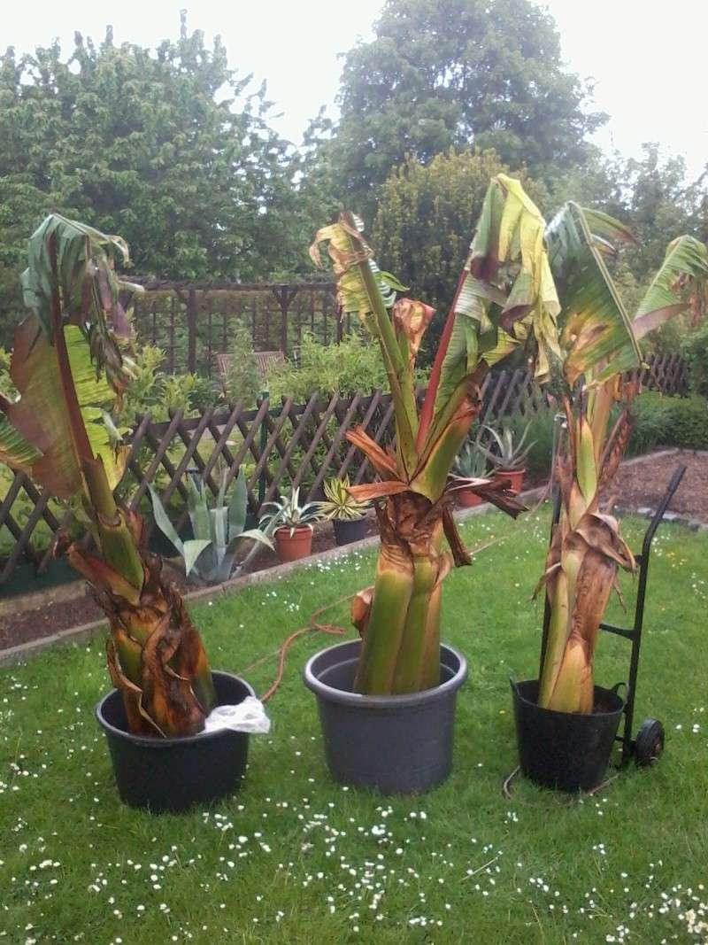 Bananengewächse (Musaceae) - Seite 3 Foto0618