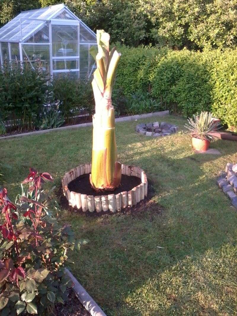 Bananengewächse (Musaceae) - Seite 4 Foto0622