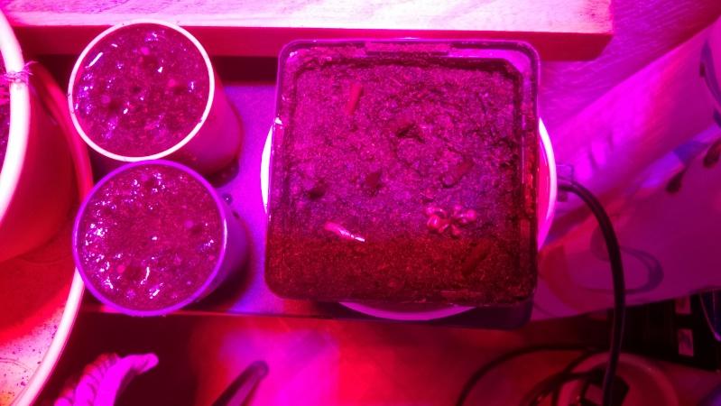 Tentatives de bouturage par hampe florale de Dionaea Wp_20137