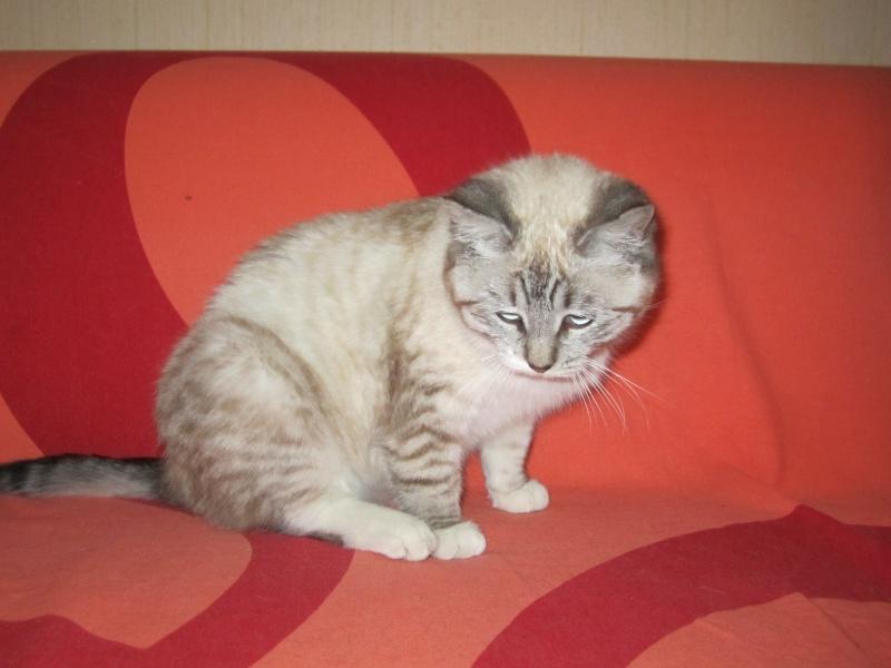 Adoptée, Samba, chaton femelle croisée siamois Img_2810