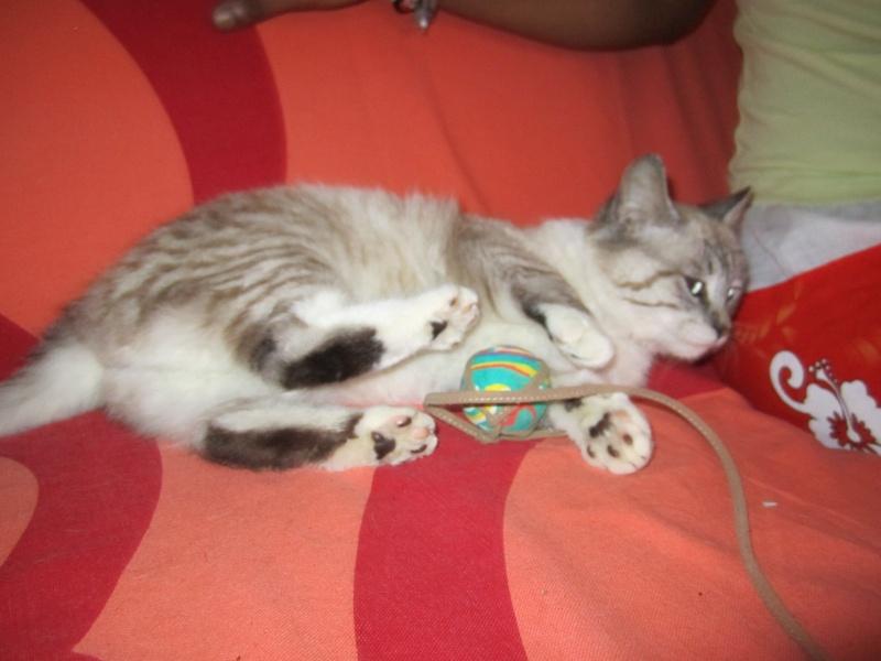 Adoptée, Samba, chaton femelle croisée siamois Img_2811