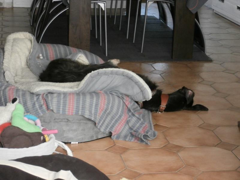 Riberi galgos barbudos  à l'adoption Scooby France  Adopté - Page 6 P4150010