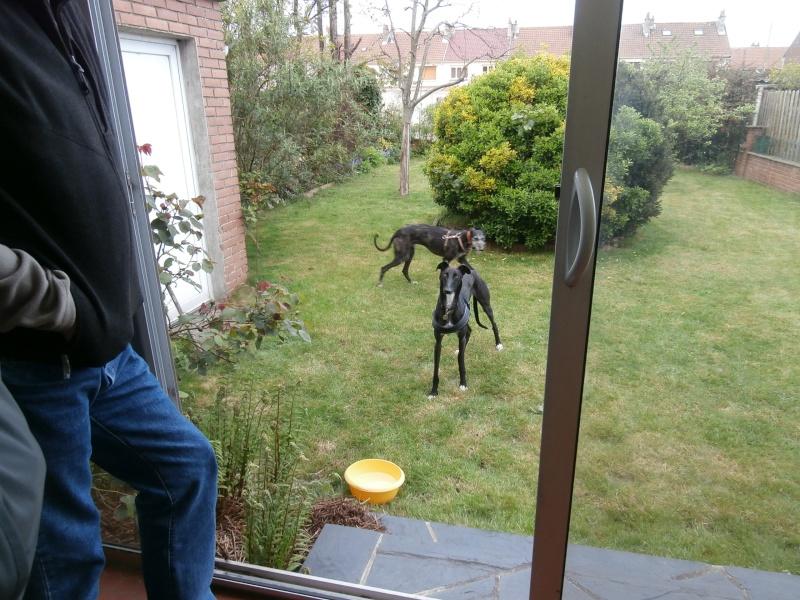 Riberi galgos barbudos  à l'adoption Scooby France  Adopté - Page 6 P4150110