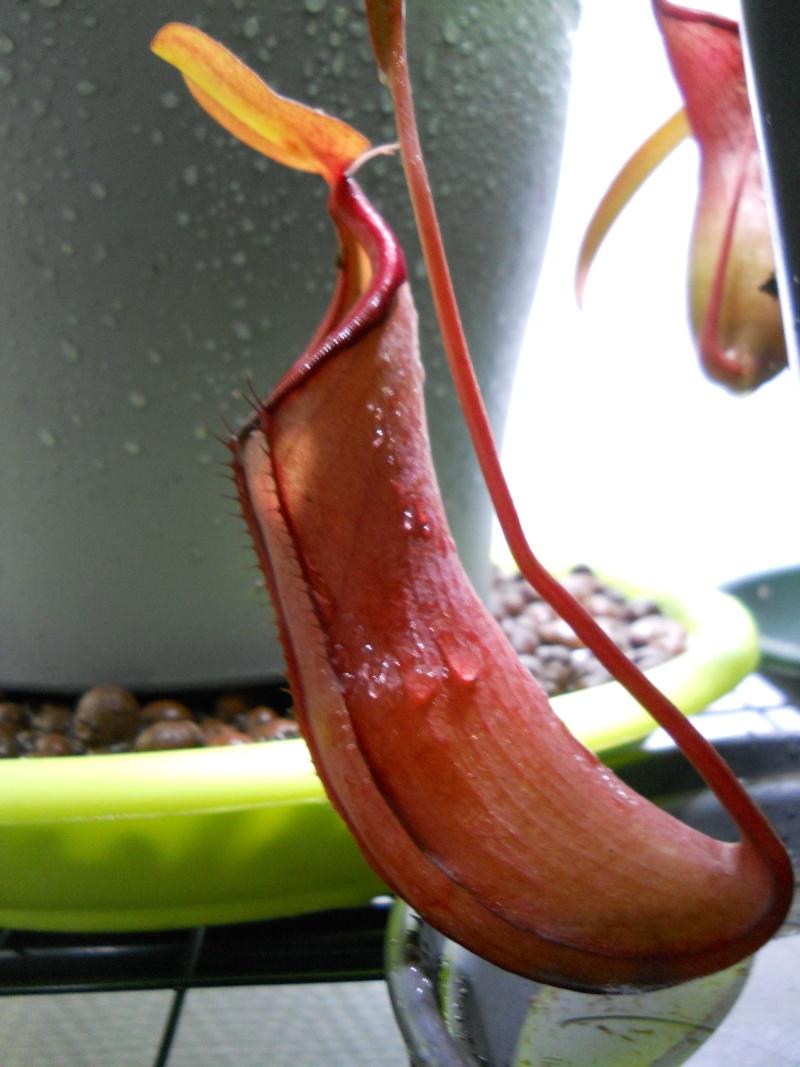"""Nepenthes """"Rebecca Soper"""", ou une grosse erreur d'étiquetage ? Dscn4714"""