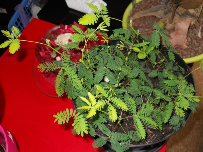 Mimosa Pudica! Dscn4930
