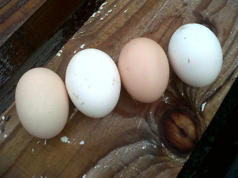 Des œufs normaux ! Img01821