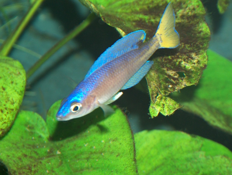 Cyprichromis leptosoma utinta Hpim3912