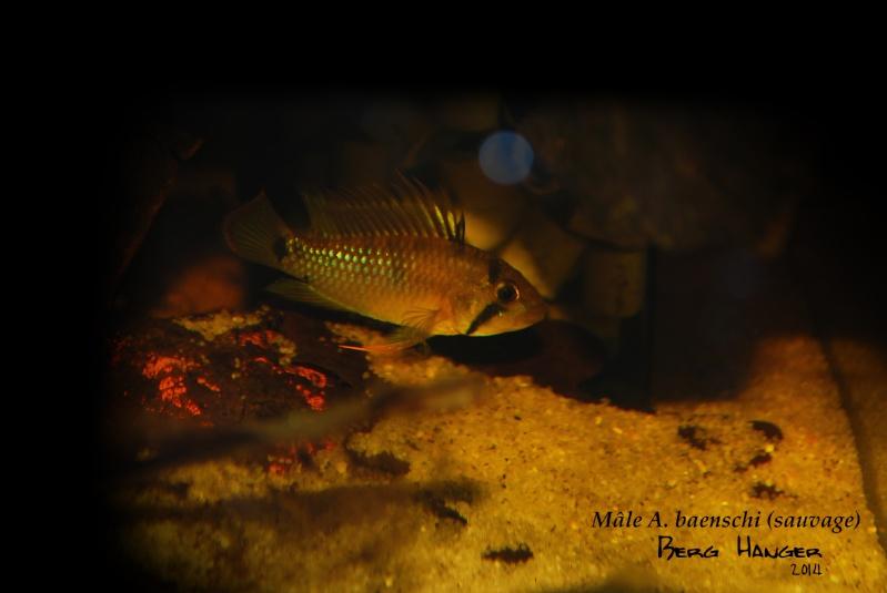 On ne s'ennuis pas en aquariophilie/ aquarium 830 litres  - Page 2 A_baen15