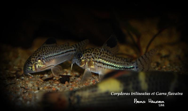 On ne s'ennuis pas en aquariophilie/ aquarium 830 litres  - Page 3 Cory10