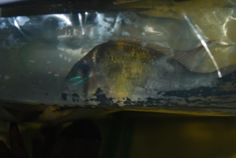 On ne s'ennuis pas en aquariophilie/ aquarium 830 litres  - Page 2 Cupido10