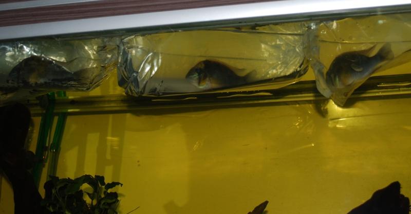 On ne s'ennuis pas en aquariophilie/ aquarium 830 litres  - Page 2 Cupido11