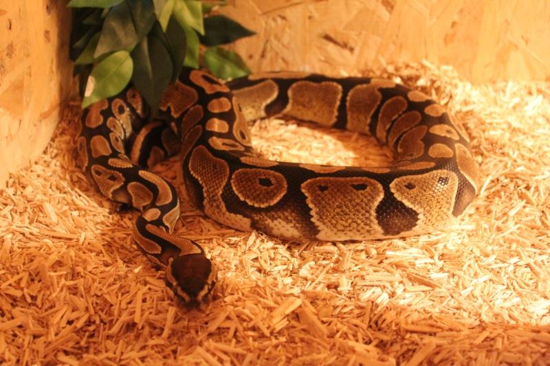 présentation de mes reptiles  Img_6410