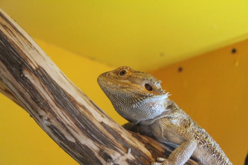 présentation de mes reptiles  Img_7310
