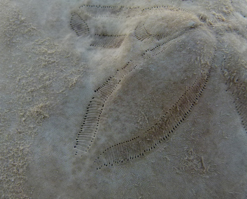 Clypeasteroida - Clypeasteridae - Clypeaster rosaceus (Linnaeus, 1758) & Clypeaster subdepressus (Gray, 1825) - Cas de malformation  Clypea26