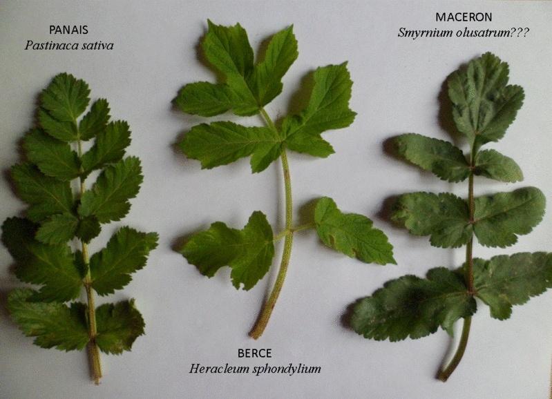 Identifier les feuilles d'apiacées Apiace10