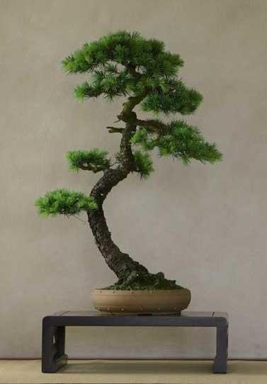 Quale delle due arti di fare bonsai condividete ed apprezzate di piu' ? - Pagina 2 Cesso-10