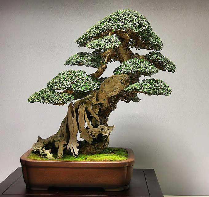 Quale delle due arti di fare bonsai condividete ed apprezzate di piu' ? - Pagina 2 Olea10