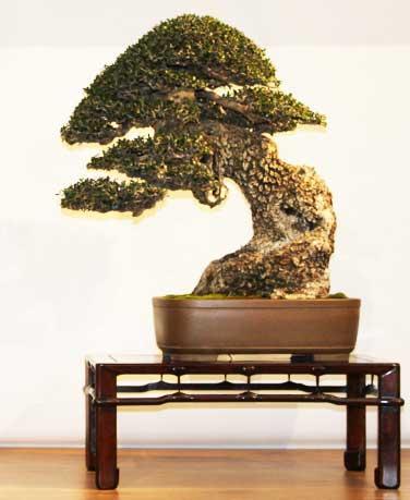 Quale delle due arti di fare bonsai condividete ed apprezzate di piu' ? - Pagina 2 Olivas10