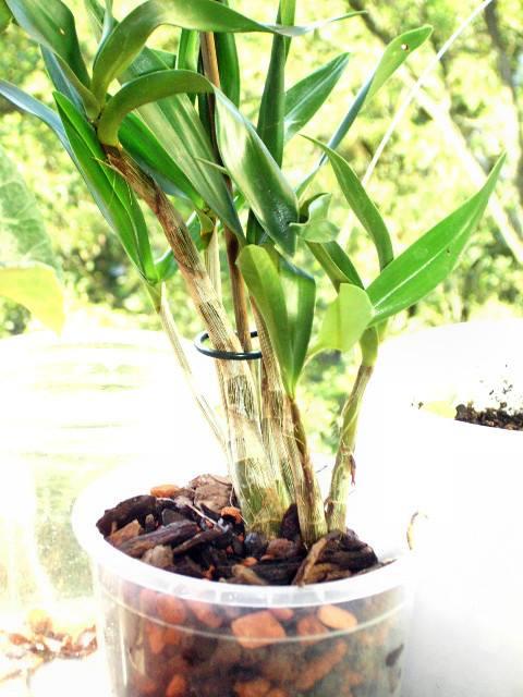 Welche Dendrobium ist Das ? 99578910