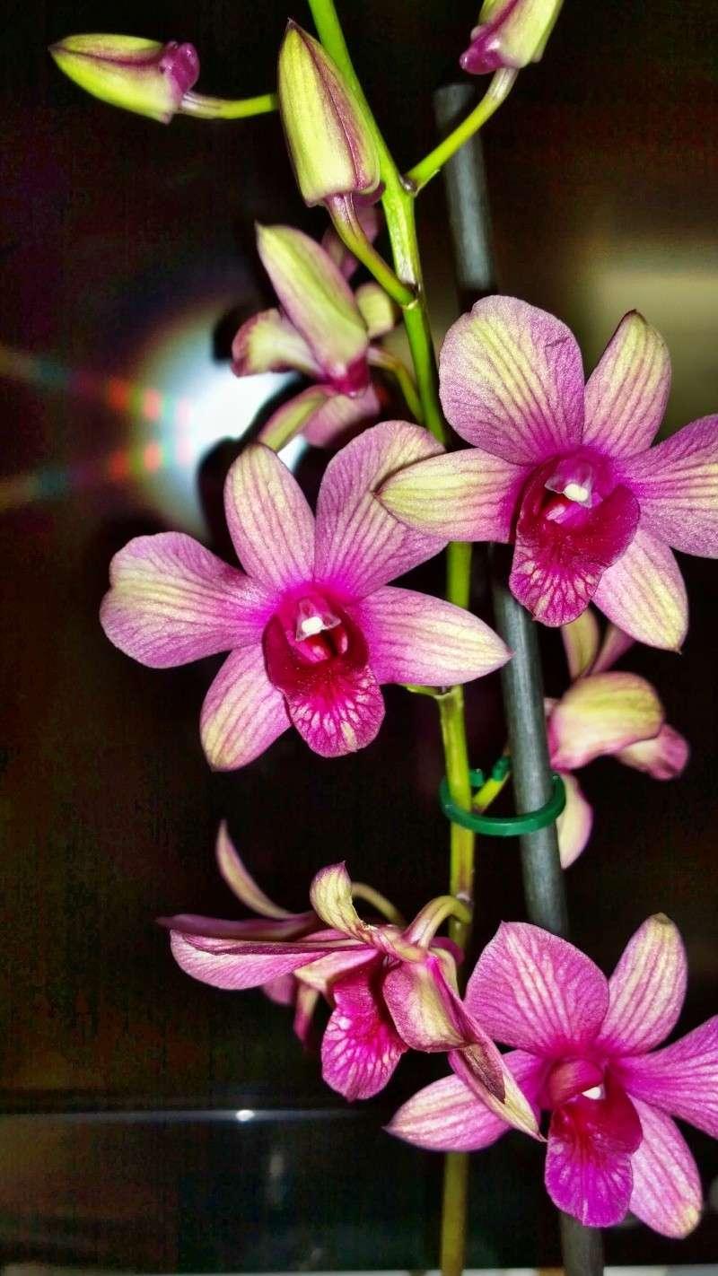 Wer kann mir Sagen wie Diese Dendrobium Art Heist. Wp_20131