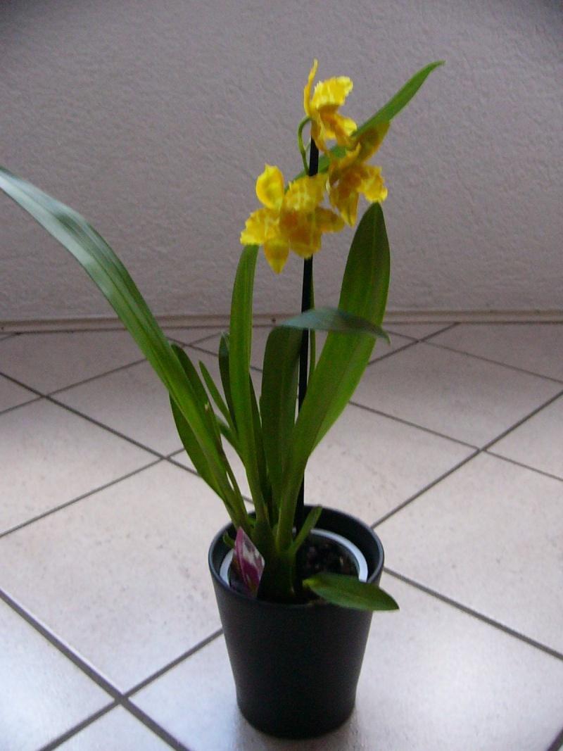 Identifikation blühender Orchideen  ohne  Händlerbenennung P1090129