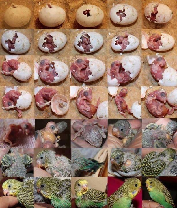 L evolution d une perruche Perric10