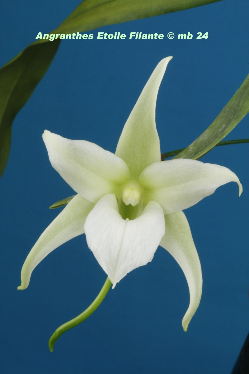 Angranthes Etoile Filante (Aeranthes neoperrieri x Angraecum magdalenae) Angran11