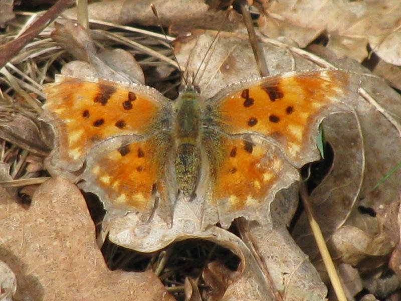 atlas des papillons, en mars çà repart ! Img_5723