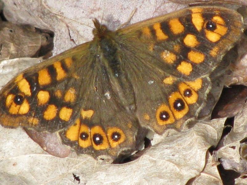 atlas des papillons, en mars çà repart ! Img_5724