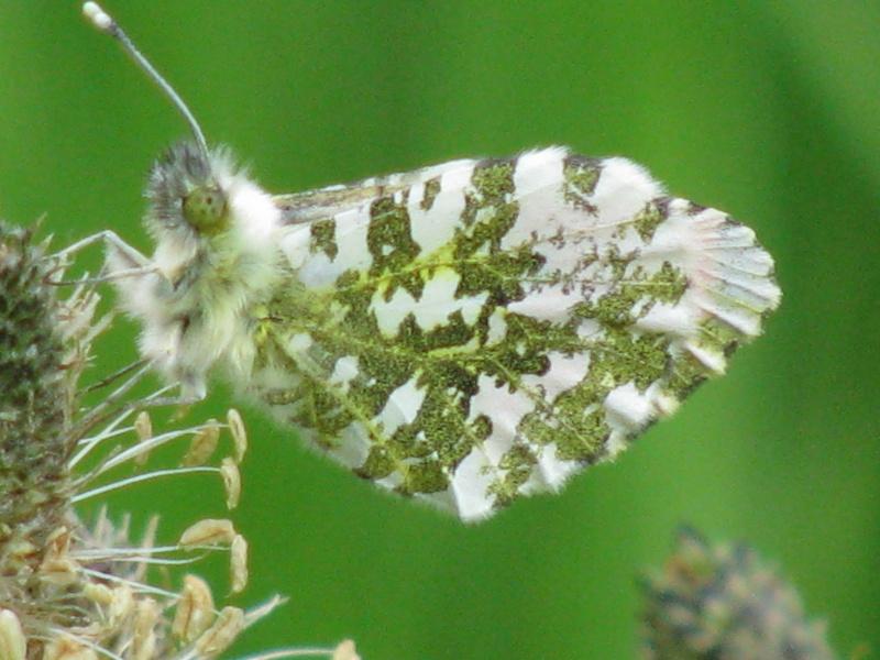 lacunes à combler dans l'atlas pour les papillons communs en mai Img_6010