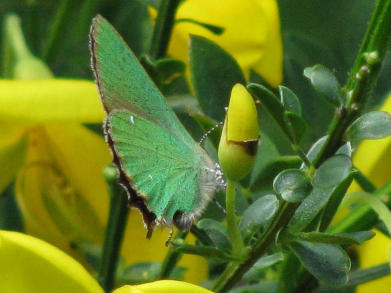 Thécla de la ronce, ce beau vert ! Img_6515